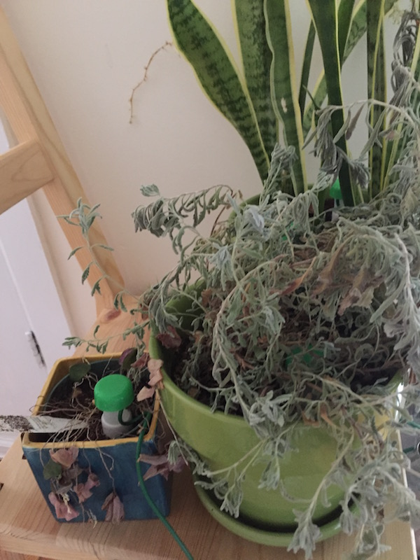 dry plants after automatic watering fail