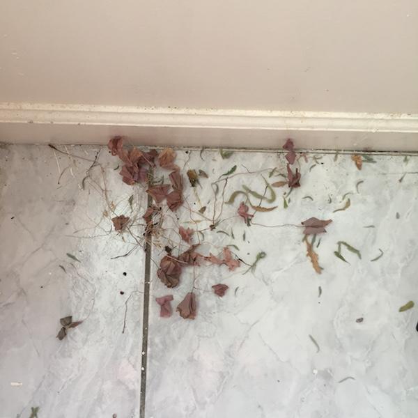 shamrock cuttings on the kitchen floor